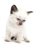 蓝眼睛小猫 库存图片