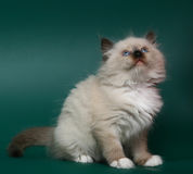 蓝眼睛小猫 免版税库存图片