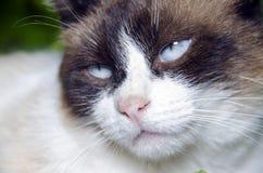 蓝眼睛猫画象 免版税库存图片