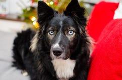 蓝眼睛的严肃的狗 免版税库存照片