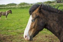 蓝眼睛的冰岛马 免版税库存照片