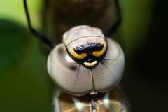 蓝眼睛的叫卖小贩/Aeshna affinis 免版税库存照片
