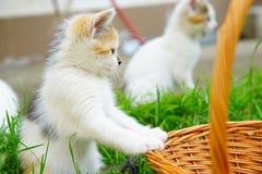蓝眼睛的周道的小猫在自然环境里 免版税图库摄影