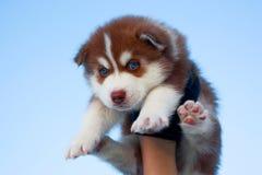 蓝眼睛的多壳的小狗 库存照片