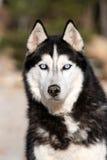 蓝眼睛的多壳的西伯利亚人 免版税库存图片