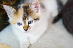 蓝眼睛的小猫在自然环境里 库存照片