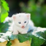 蓝眼睛的小猫 免版税库存照片