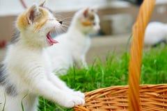 蓝眼睛的打呵欠的小猫在自然环境里 免版税库存图片