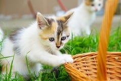 蓝眼睛的机敏的小猫在自然环境里 免版税库存照片