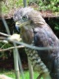 蓝眼睛的猎鹰 库存图片