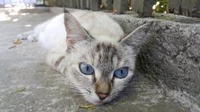 蓝眼睛的猫在掩藏从热的太阳的树荫下放置 免版税库存图片