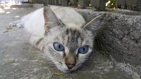 蓝眼睛的猫在掩藏从热的太阳的树荫下放置 库存照片