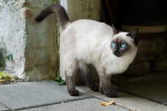 蓝眼睛的猫等待饲养时间 库存图片