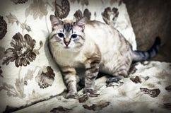 蓝眼睛的猫 免版税库存照片