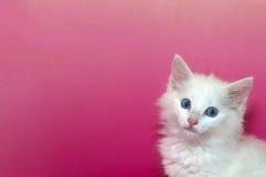 蓝眼睛的白色猫画象在桃红色背景的 免版税库存图片