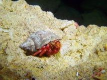 蓝眼睛的螃蟹 免版税图库摄影