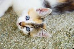 蓝眼睛的逗人喜爱的小猫在自然环境里 库存照片