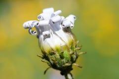 蓝眼睛的非洲雏菊(arctotis venusta)典雅的瓣。 免版税图库摄影