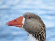 蓝眼睛的鹅 图库摄影
