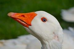 蓝眼睛的鹅 免版税库存照片