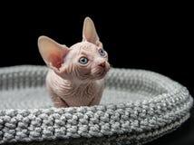 蓝眼睛的Sphynx小猫 库存图片