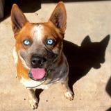 蓝眼睛 图库摄影
