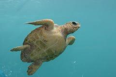 蓝绿色印第安ocean1游泳乌龟 免版税库存图片
