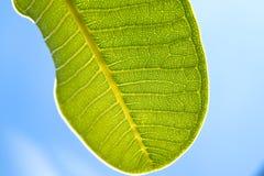 蓝绿色叶子零件天空 库存图片
