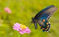 蓝绿色呈虹彩swallowtail 图库摄影