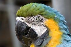 蓝绿色题头金刚鹦鹉射击 库存图片
