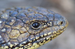 蓝舌头困蜥蜴 免版税库存照片