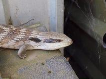 蓝舌头蜥蜴-接近  免版税库存照片
