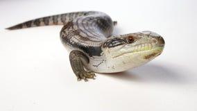 蓝舌头蜥蜴 免版税库存图片