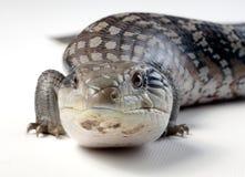 蓝舌头蜥蜴 库存照片