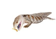 蓝舌头蜥蜴 免版税库存照片