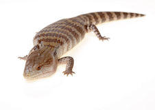 蓝舌头蜥蜴 免版税图库摄影