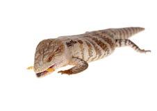 蓝舌头蜥蜴 库存图片