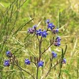 蓝色不可思议的花 自然的夏天礼物 免版税库存照片