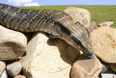 蓝色东部蜥蜴舌头 库存图片