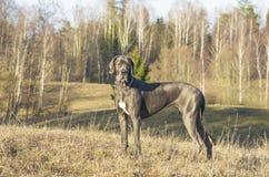蓝色丹麦种大狗狗 库存图片