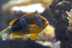 蓝色丽鱼科鱼金子 图库摄影
