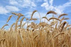 蓝色云彩调遣天空麦子 库存图片
