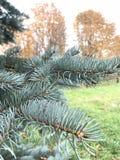 蓝色云杉分支以被染黄的秋天树为背景的 库存照片