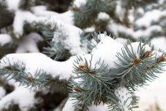 蓝色云杉分支在雪的 免版税库存图片