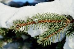 蓝色云杉分支在雪的 库存图片