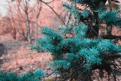 蓝色云杉在公园 免版税库存照片