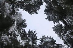 蓝色云杉在冬天 免版税库存图片