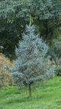 蓝色云杉在秋天公园 库存图片