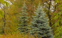 蓝色云杉在秋天公园 免版税图库摄影