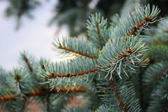 蓝色云杉的分支在一阴天 库存图片